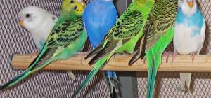 Как дрессировать волнистого попугая