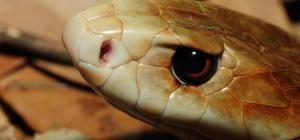 Какая самая опасная змея на планете