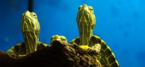 Как менять воду в аквариуме для черепах