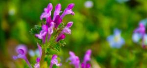 Как повысить иммунитет травами