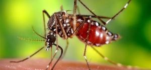 Зачем комарам кровь