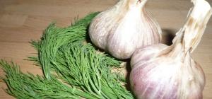 Как получить урожай свежей зелени в мае: чеснок и укроп на одной грядке