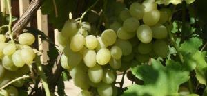 Как сушить виноград самому, чтобы получился изюм?