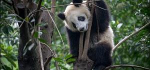 Где живут панды