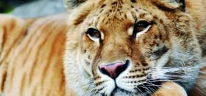 Как называются гибриды львов и тигров