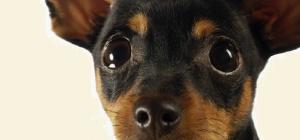 Как назвать щенка той-терьера