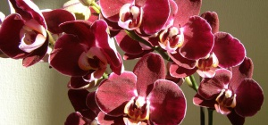 Как ухаживать за орхидеями фаленопсис?