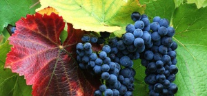 Сколько калорий в винограде