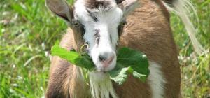 Что нас ждет в год Козы (Овцы)?