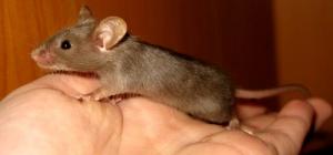 Как избавиться от мышей? Полезные советы