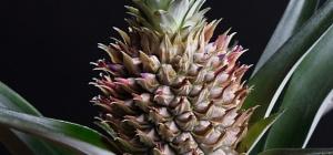 Экзотика рядом: выращиваем ананас