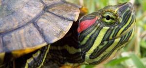 Правильное содержание красноухой черепахи