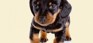 Сколько стоит щенок таксы