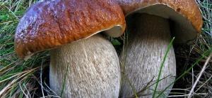 Сколько нужно варить белые грибы