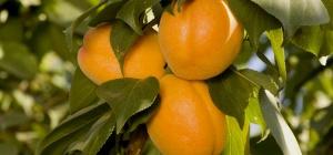 Как приготовить абрикосовое вино