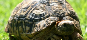 Как ухаживать за сухопутной черепахой