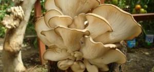 Сколько готовить грибы-вешенки