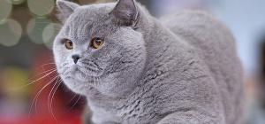 Как выбрать кличку для британской кошки
