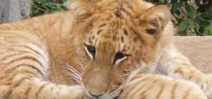 Кто такие лигры