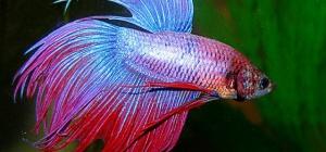 Как содержать аквариумную рыбку петушка