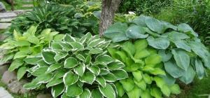 Хоста - растение без недостатков