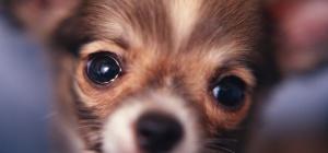 Как выбрать щенка той-терьера