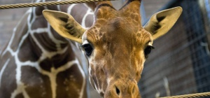 Почему в Копенгагене убили жирафа