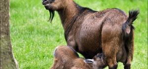 Все о козах: как содержать