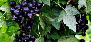 Все о смородине: как посадить