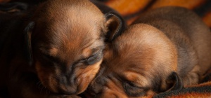 Как рождаются щенки
