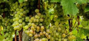 Как подготовить виноградник к зиме