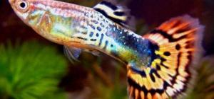 Рыбка для маленького аквариума: как выбрать