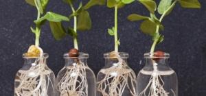 Какую зелень можно выращивать на подоконнике без земли