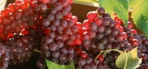 Как выращивать амурский виноград