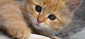 Почему тошнит котенка