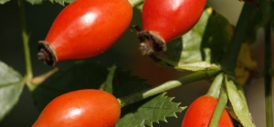 Шиповник: применение целебного растения