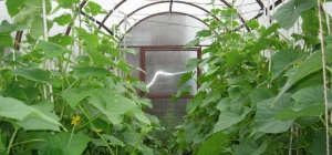 Правильное формирование огурцов в теплице - залог высокого урожая