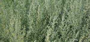 Полынь-трава горькая, ее применение и польза
