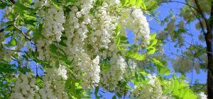 Лечебные свойства акации белой