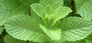 Какими свойствами обладает мята как лекарственное растение