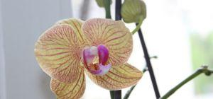 Простой уход за орхидеей фаленопсис