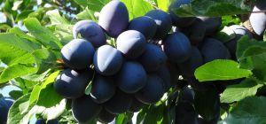 Чем обработать сливу от тли после цветения, когда есть ягоды