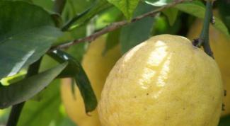 Как вырастить домашний лимон