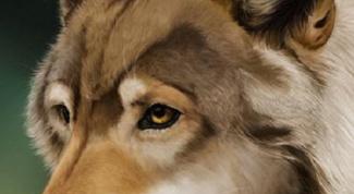 Как рисовать морду волка