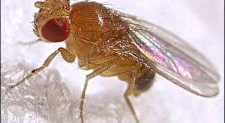 How to get rid of small black flies