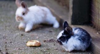 Как разводить декоративных кроликов