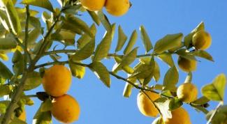 Как опылить лимон
