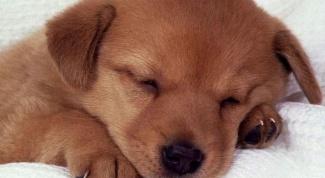 Как купировать хвосты щенкам