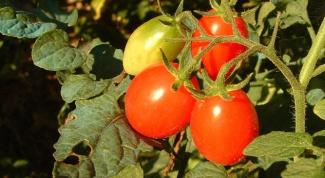 Как вырастить хорошую рассаду помидор