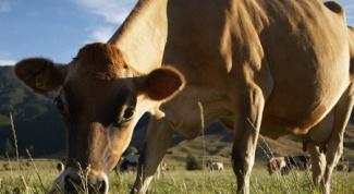 Как выращивать скот